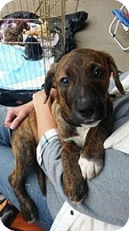 Hound (Unknown Type) Mix Puppy for adoption in Chalfont, Pennsylvania - Dawn