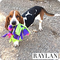 Adopt A Pet :: Raylan - Acton, CA