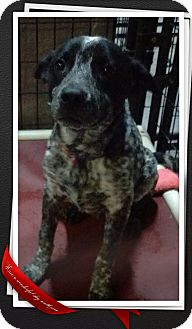 Cattle Dog Mix Puppy for adoption in Apache Junction, Arizona - Ashton