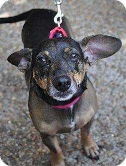 Manchester Terrier/Dachshund Mix Dog for adoption in Atlanta, Georgia - Joey