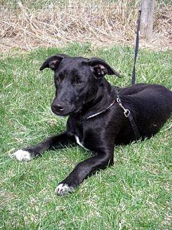 Labrador Retriever Mix Dog for adoption in Lacon, Illinois - Dexter