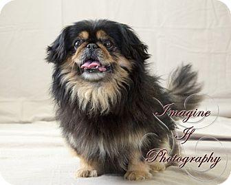 Pekingese Mix Dog for adoption in Oklahoma City, Oklahoma - Toby