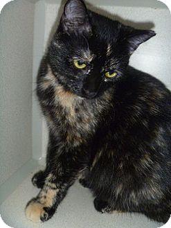 Domestic Shorthair Cat for adoption in Hamburg, New York - Sallie