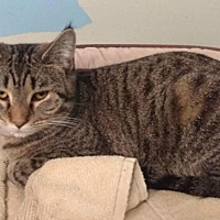 Adopt A Pet :: Stripe - mishawaka, IN