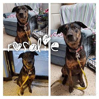 Labrador Retriever/Shepherd (Unknown Type) Mix Dog for adoption in Garden City, Michigan - Rosalie