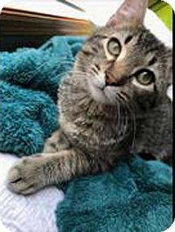 Domestic Shorthair Cat for adoption in Owatonna, Minnesota - Dexter