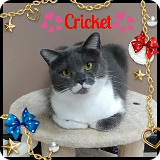 Domestic Shorthair Cat for adoption in Maryville, Tennessee - Cricket