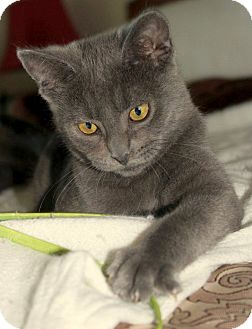 Domestic Shorthair Kitten for adoption in Chattanooga, Tennessee - Chickie Hawk