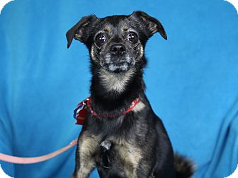 Chihuahua Mix Dog for adoption in Minneapolis, Minnesota - Willow