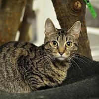 Domestic Shorthair Cat for adoption in Atlanta, Georgia - Evina 13862