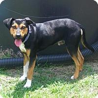 Shepherd (Unknown Type) Mix Dog for adoption in New Bern, North Carolina - Saber