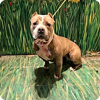 Adopt A Pet :: Bindy - West Babylon, NY