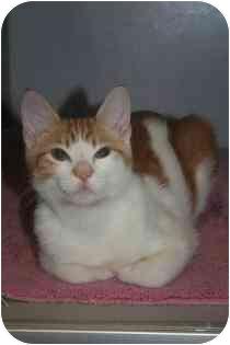 Domestic Shorthair Kitten for adoption in Marietta, Georgia - Cooper