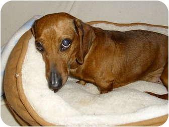 Dachshund Mix Dog for adoption in Lawndale, North Carolina - Brooklyn