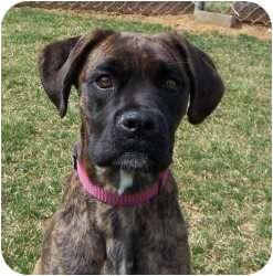 Boxer Mix Dog for adoption in Chambersburg, Pennsylvania - Celine