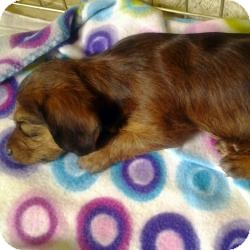 Yorkie, Yorkshire Terrier Mix Puppy for adoption in Riverview, Florida - Chubs