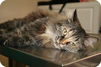 Persian Cat for adoption in Spring Valley, New York - Princess Macy