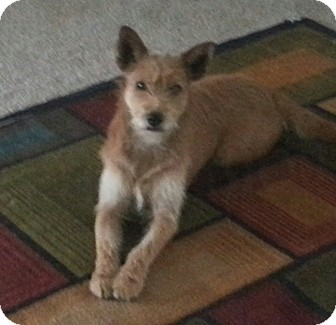 Terrier (Unknown Type, Medium) Mix Dog for adoption in San Antonio, Texas - Crimson