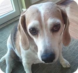 Beagle Mix Dog for adoption in Northville, Michigan - Belle