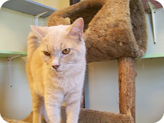 Domestic Shorthair Cat for adoption in Anderson, Indiana - Simba