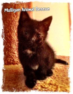 Domestic Mediumhair Kitten for adoption in Mount Royal, New Jersey - Merry Miracle (read my story)