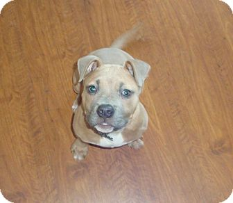 American Pit Bull Terrier/American Staffordshire Terrier Mix Puppy for adoption in Columbus, Ohio - Chompers