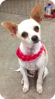 Chihuahua/Terrier (Unknown Type, Small) Mix Puppy for adoption in Studio City, California - Stella