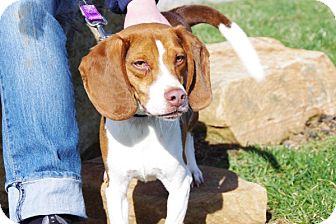 Beagle Mix Dog for adoption in Elyria, Ohio - Rusty