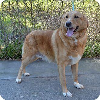 Golden Retriever Mix Dog for adoption in Salem, New Hampshire - Jax
