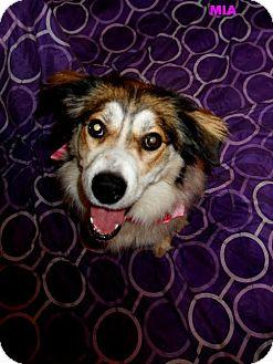 Sheltie, Shetland Sheepdog/Shepherd (Unknown Type) Mix Dog for adoption in Plainfield, Illinois - Mia