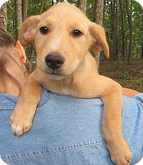 Golden Retriever/Labrador Retriever Mix Puppy for adoption in Harrisonburg, Virginia - Rice Crispies