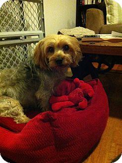 Yorkie, Yorkshire Terrier Dog for adoption in Astoria, New York - Gwen