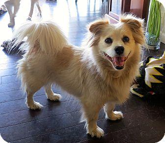 Spaniel (Unknown Type)/Pomeranian Mix Dog for adoption in Los Angeles, California - Tibby