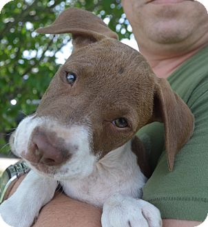 Labrador Retriever/Hound (Unknown Type) Mix Puppy for adoption in Portsmouth, New Hampshire - Simban