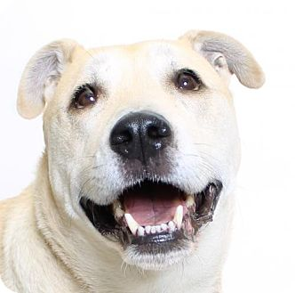 Retriever (Unknown Type)/Labrador Retriever Mix Dog for adoption in Truckee, California - Finn