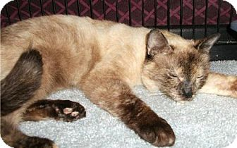 Siamese Cat for adoption in Balto, Maryland - Frye