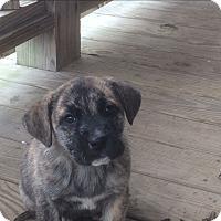 Adopt A Pet :: Georgia - Bedminster, NJ