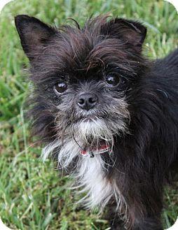 Brussels Griffon/Affenpinscher Mix Dog for adoption in Red Bluff, California - Romeo