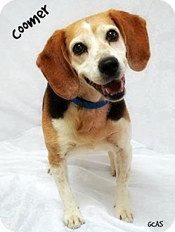 Beagle Mix Dog for adoption in Cincinnati, Ohio - Coomer
