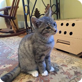 Domestic Shorthair Kitten for adoption in Columbus, Ohio - Casanova