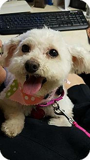 Poodle (Miniature) Mix Dog for adoption in Troy, Michigan - Katie