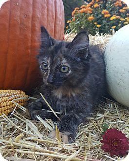 Domestic Mediumhair Kitten for adoption in Oakland, Michigan - Amaretto - I love to explore!