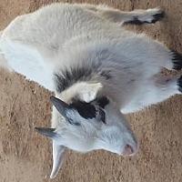 Adopt A Pet :: Baby Goats Nigerian - Citrus Springs, FL