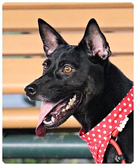 Labrador Retriever/Shepherd (Unknown Type) Mix Dog for adoption in San Mateo, California - Shana