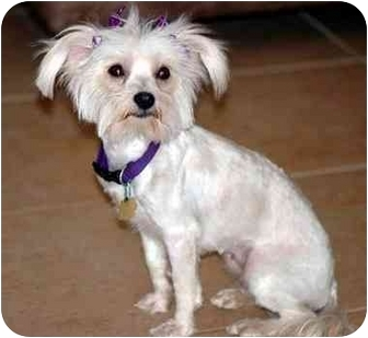 Maltese/Terrier (Unknown Type, Small) Mix Dog for adoption in Los Angeles, California - JULIETTE