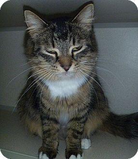 Domestic Mediumhair Cat for adoption in Hamburg, New York - Jacqueline