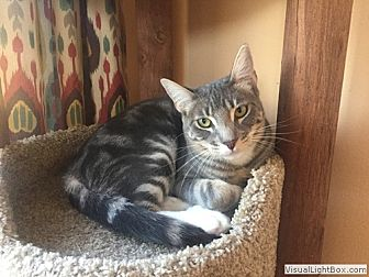 Domestic Shorthair Kitten for adoption in Westchester, California - Cooper