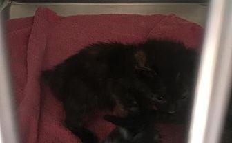 Domestic Shorthair Kitten for adoption in Harrisville, West Virginia - Kit