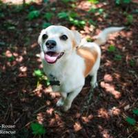 Adopt A Pet :: Rotini - Eugene, OR