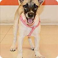 Adopt A Pet :: Fola - Taiwan Pup - Encino, CA